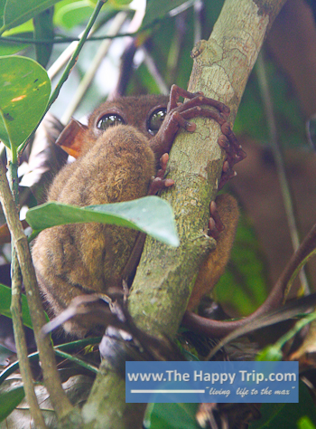 BOHOL TARSIERS CONSERVATION AREA | TOURIST ATTRACTION