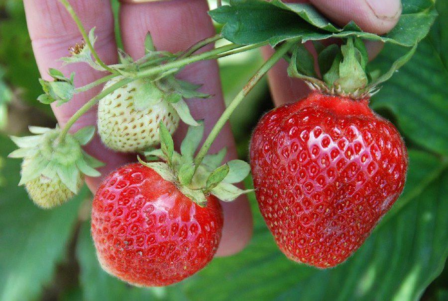 Strawberry Picking, La trinidad