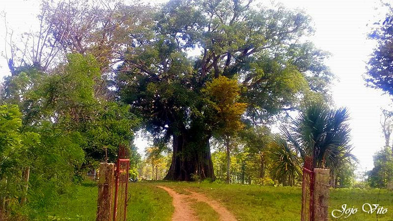 balete tree, CANLAON CITY