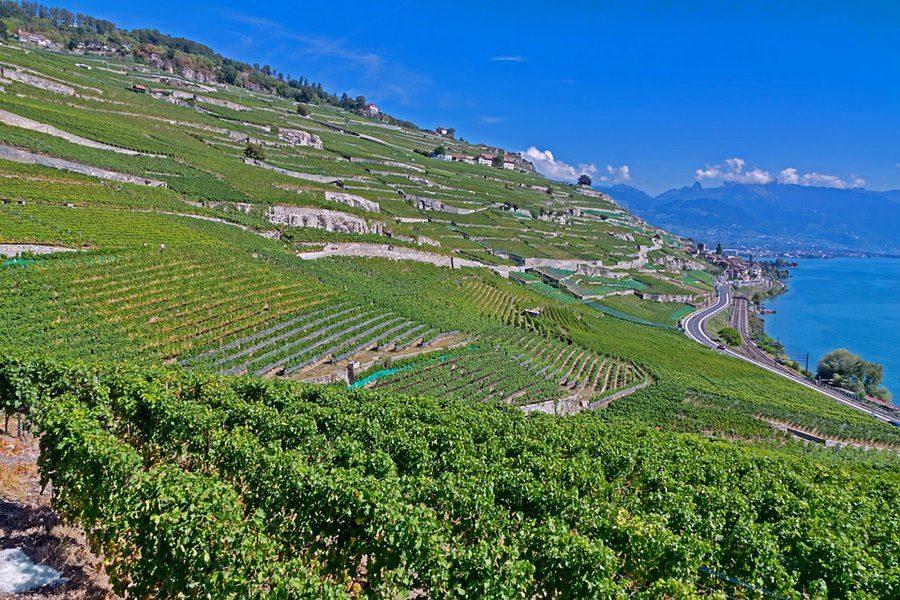 vineyard facing Lake Geneva