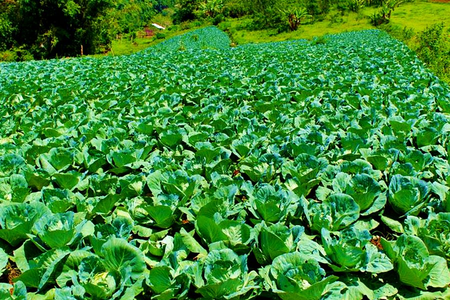 vegetable farm in Brgy. Cod-cod, San Carlos City