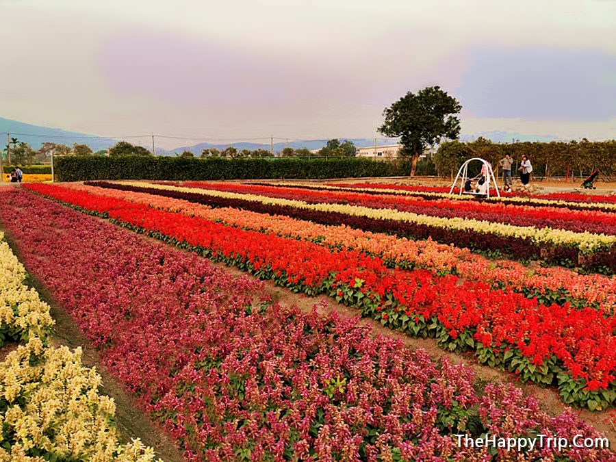 HOULI FLOWER FARM Travel Guide | Must Visit In Taichung Taiwan